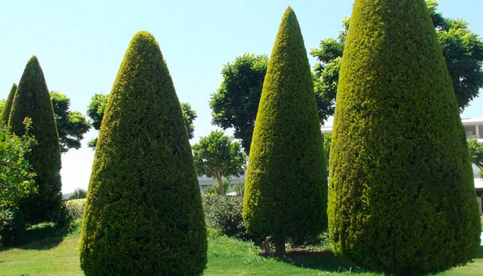 Хвойные растения кипарис
